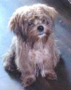 KLAWS:Missing Yorkie/Shih, Little Britain Rd by Corneil Auction Kawartha Lakes Peterborough Area image 2