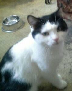 "Adult Male Cat - Domestic Medium Hair-black and white: ""Rolo"""