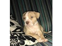 Beautiful bully puppies males females American bulldog