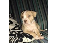 Amazing bully puppies females available American bulldog