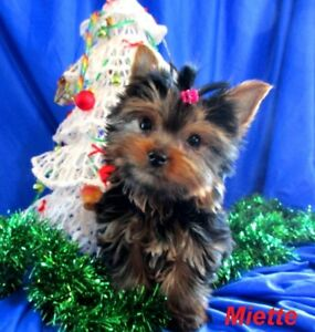 One Teeny Tiny Teacup Yorkie Girl Puppy - DELIVERY POSSIBLE
