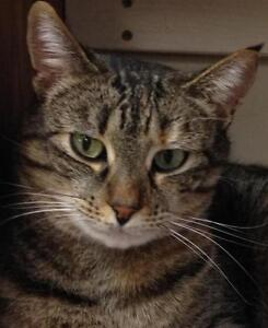 """Young Female Cat - Tabby - Brown: """"Shandi"""""""