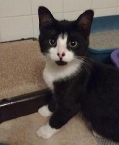 "Young Male Cat - Domestic Short Hair (Black & White): ""Gazoo"""