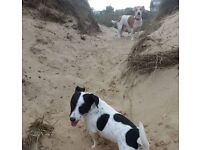 2 gorgeous girl jack russles for sale