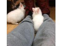Baby dwarf rabbits