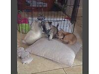 KC Registered Long Coat Chihuahua