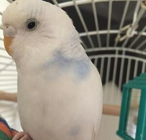 Free Female Budgie+CAGE
