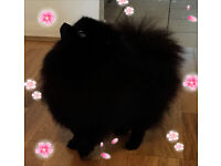 ABSOLUTELY GORGEOUS POMERANIAN FEMALE FOR SALE!!