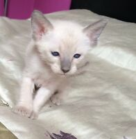 ..• Beaux Chatons Siamois (pure race)
