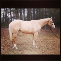 poulain palomino enregistrer. prospect all around