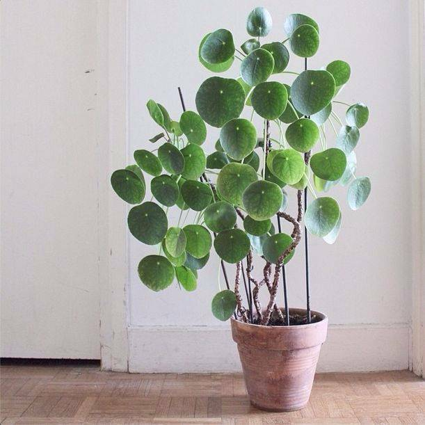 Pilea Peperomioides Succulents Chinese Money Plant