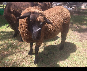 2 x female sheep $220 for both Tahmoor Wollondilly Area Preview