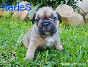 Male french bulldog puppies