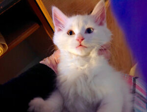 Looking for an odd eyed kitten one with 2 different eye colours