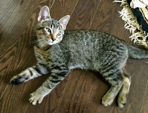 Lovable Huggable Male Kitten - Bengal Mix