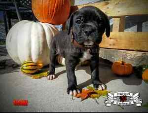 Registered Mastiff Puppies