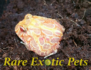 Reptiles, Snakes, Lizards and Feeders Cambridge Kitchener Area image 5