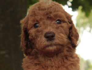 Small Standard F1b Goldendoodle Puppies for Sale