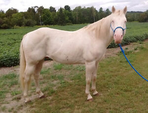 AQHA Cremello Quarter Horse Stallion For Sale