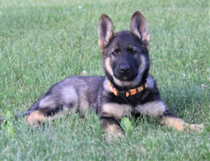 Adorable Registered Pure Bred German Shepherd Puppies