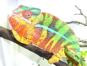 Babies chameleons panthers and veiled translucents ready soon