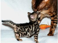 Beautiful Registered Pedigree Bengal Kittens(408 )987-0482
