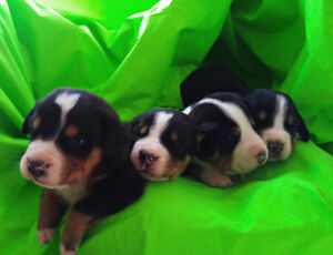 Greater Swiss Mountain Dog Puppies CKC Registered