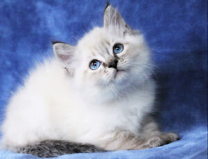 LYNX POINT RAGDOLL FEMALE KITTEN