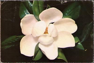 (we5) Postcard: Mississippi State Flower, The Magnolia - Mississippi State Flower Magnolia