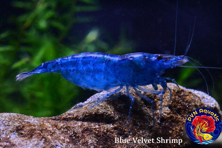 10 1 Blue Velvet - Freshwater Neocaridina Aquarium Shrimp Live Guarantee - $34.58
