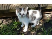 Last one beautiful long haìr kittens for sale