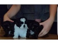 Shih-tzu Puppies For Sale. One remaining