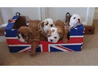 English bulldog KC registered puppies
