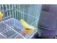 Cute lovely yellow baby budgie for sale