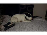free jack russell needs a loving home