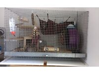 3 Male degus with cage and supplies