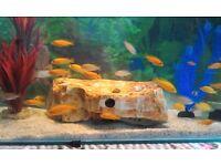 "The Young Fish Malawi Cichlid Fish ""Fish Healthy"""