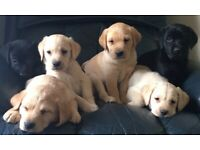 Labrador puppies available now