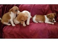 MINIATURE JACK RUSSELL PUPPIES Girls 8wks