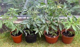 4 Tomato Plants