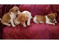 MINIATURE JACK RUSSELL Puppies 9 wks old GIRLS