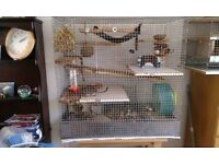 3 Males Degus with LARGE cage