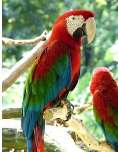 ISO Of A Green Winged Macaw.