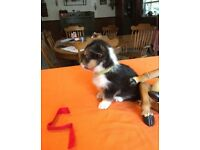 Energetic*Loveable *Pembroke *Welsh *Corgi puppies