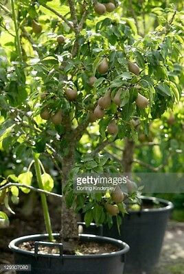Mini Bartlett Pear Tree  Has Fruit Sooner Than A Large Tree In A Smaller Space