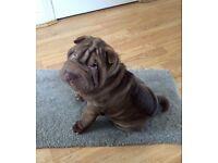 Sharpei Boy Pup FOR SALE