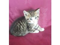 Bengal kitten ready for new home
