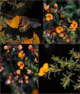 x 8 Hairy Pea bee friendly native shrub winter flowering Eungai Creek Nambucca Area Preview
