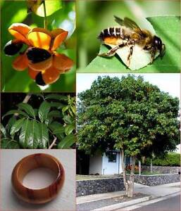 Tulipwood (Harpullia pendula) x8 plants native Eungai Creek Nambucca Area Preview