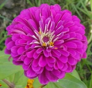 250 PURPLE PRINCE ZINNIA Elegans Flower Seeds + Gift